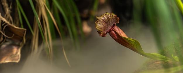 Plantes renoncules carnivores au brouillard du matin dans la jungle