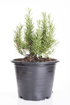 Plantes de romarin en pot de fleur noir en plastique isolé sur fond blanc