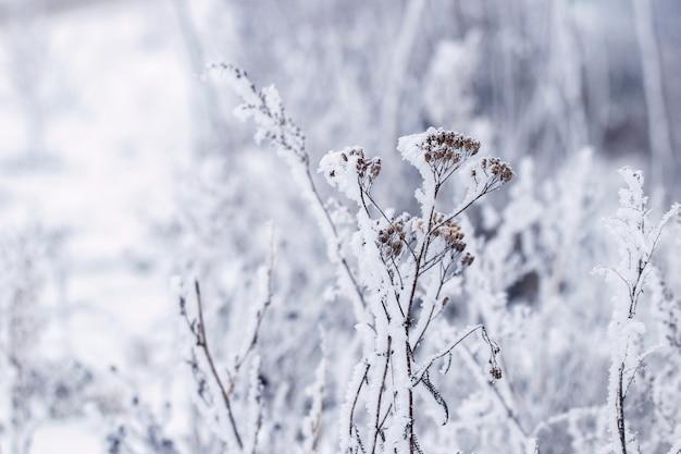 Plantes sèches couvertes de neige. fond d'hiver noël et nouvel an