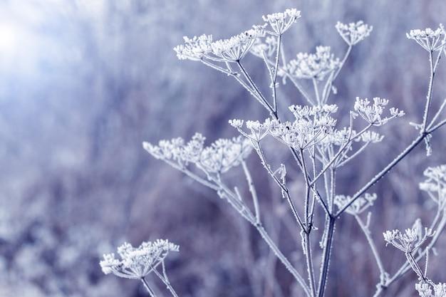 Plantes sèches couvertes de neige et de givre dans la forêt sur fond flou