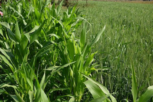Plantes de sorgho (jowar) poussant dans un champ agricole.