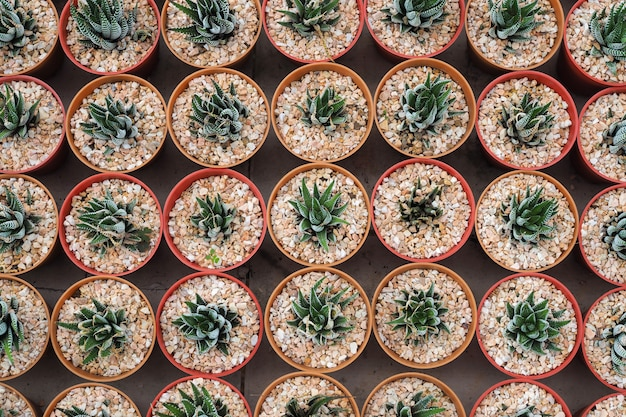 Plantes succulentes miniatures décoratives en pot de fleurs, aloe vera. vue de dessus