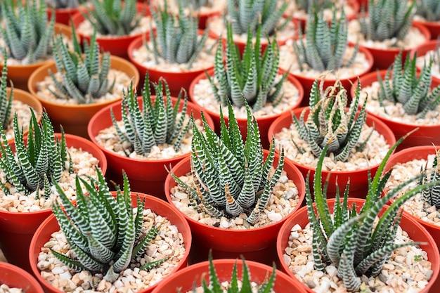 Plantes succulentes miniatures décoratives en pot de fleurs, aloe vera