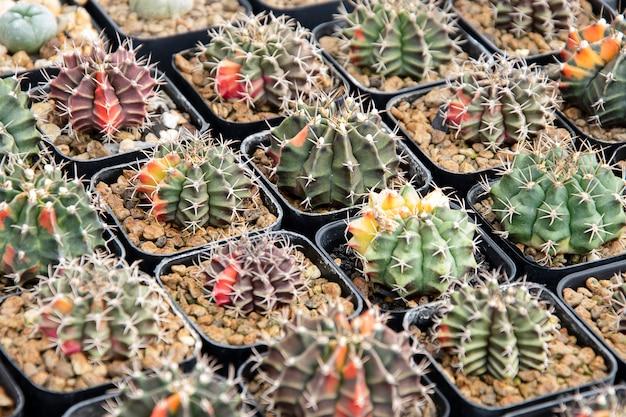 Plantes succulentes mixtes ou cactus. petit cactus en pot à vendre.
