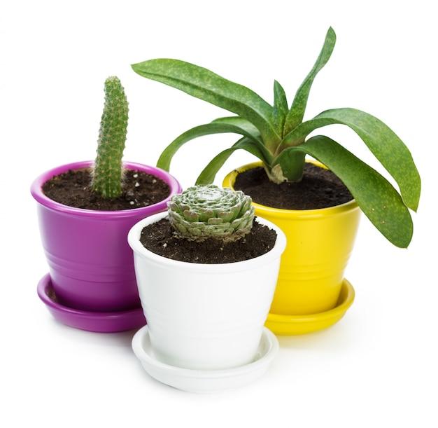 Plantes succulentes en pot sur fond blanc
