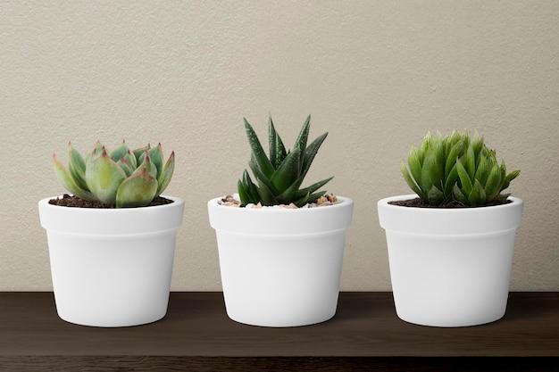 Plantes succulentes en pots blancs