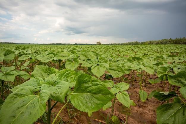Plantes de tournesol poussant dans le domaine agricole