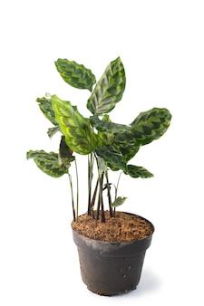 Plantes vertes et belles calathea en pot