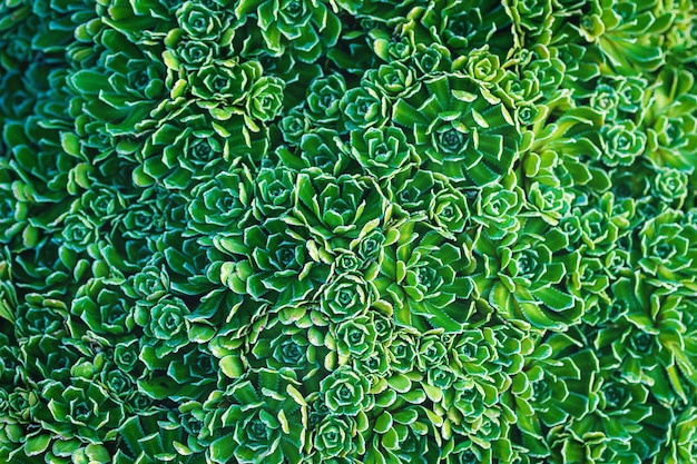 Plantes vertes fond texturé de saxifrage à vie saxifraga paniculata
