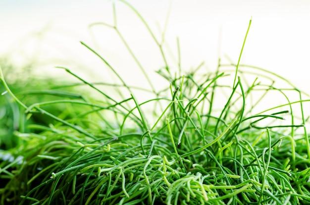 Plantes vertes ou herbe dans un récipient noir, pot pour la décoration de la maison, du restaurant, du café et du bureau. printemps et été. concept de mode de vie minimaliste.