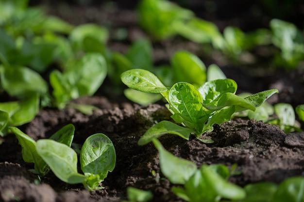 Plantes vertes poussant sur un lit dans le jardin en serre, le concept de culture biologique de plantes potagères en