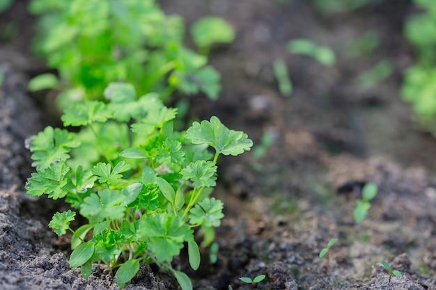 Plantes vertes poussant sur un lit dans le jardin de la serre, le concept de culture biologique