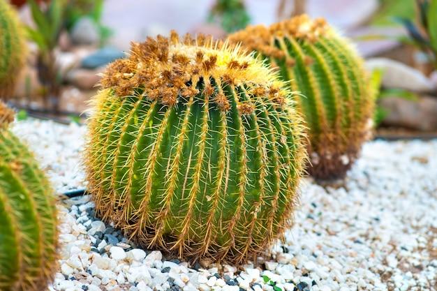 Plantes vertes rondes de cactus tropicaux avec des épines pointues poussant sur un sol recouvert de galets à l'extérieur dans un parc.