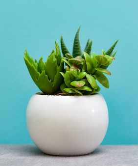 Plantes vertes succulentes en pot de fleur blanche.