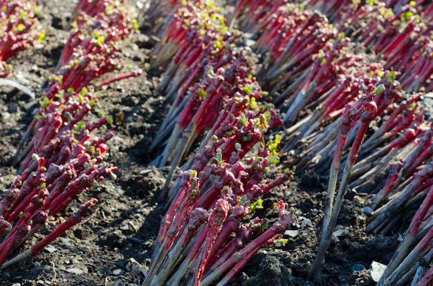 Plantes de vigne de pépinière.