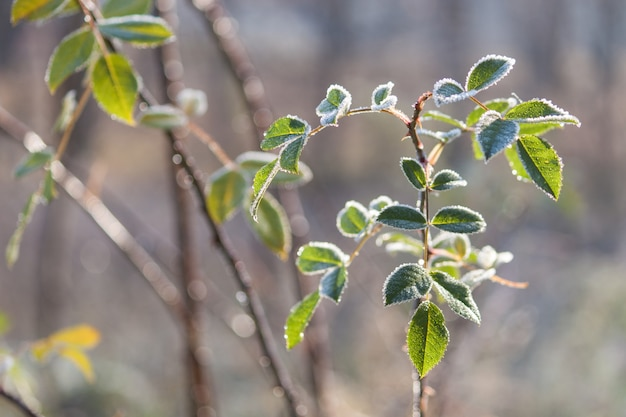 Plantez avec des feuilles vertes couvertes de givre du matin. fin de l'automne.