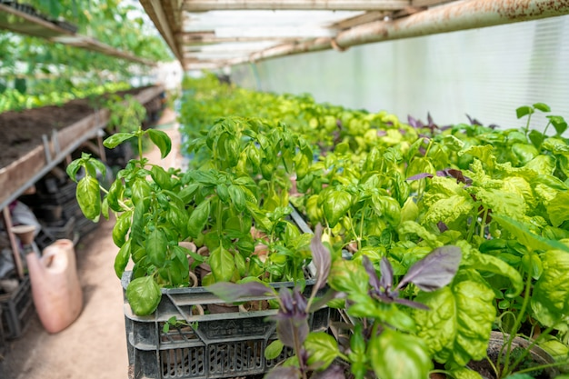 Plants de basilic dans une serre dans une ferme biologique