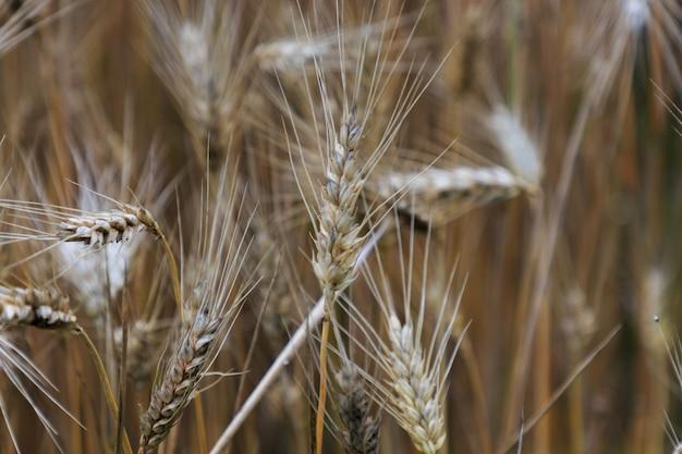 Plants de blé sur le terrain