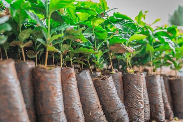 Plants de café