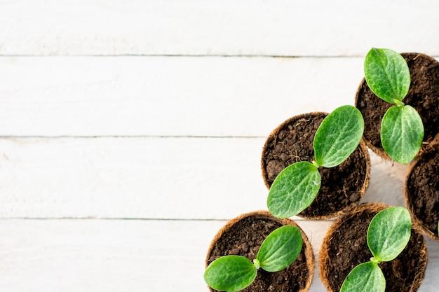Les plants de citrouille poussent dans des pots en fibre de coco