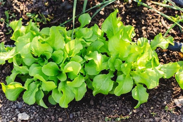 Les plants de laitue verte fraîche poussent en pleine terre. batavia, fond de feuille de salade cos