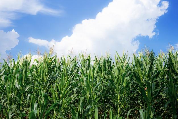 Les plants de maïs poussent dans la ferme.