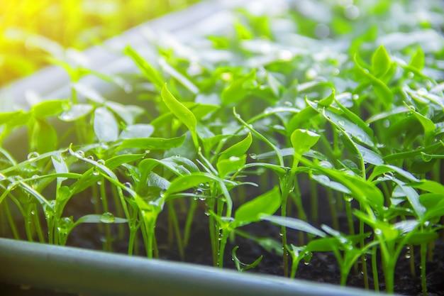 Des plants de poivrons en pots sur le rebord de la fenêtre. mise au point sélective.
