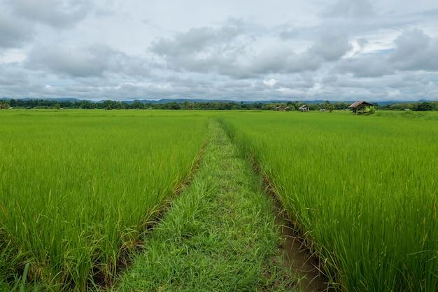 Plants de riz vert dans le champ contre le ciel