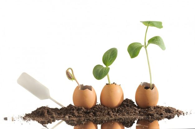 Plants de semis biologiques dans des coquilles d'œufs isolés sur blanc.