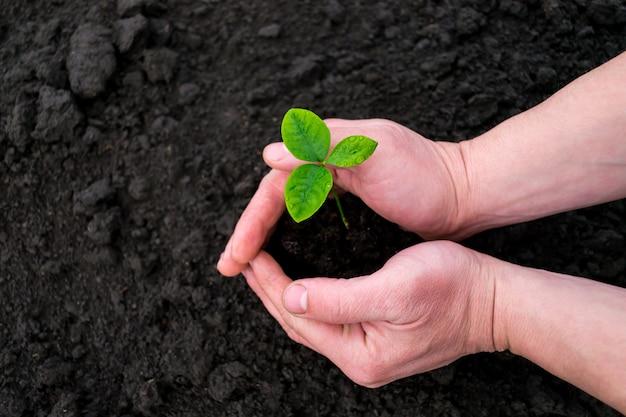 Les plants sont peu profonds. une petite pousse d'un pomelo