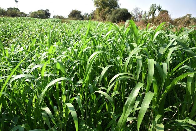 Plants de sorgho poussant dans un champ agricole