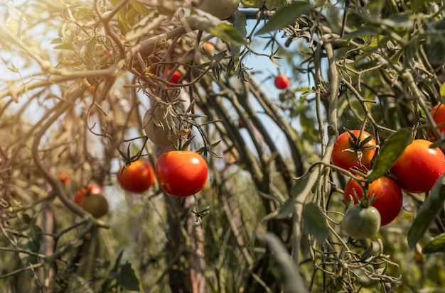 Plants de tomates aux fruits rouges mûrs ferme biologique avec des légumes poussant sur des branches