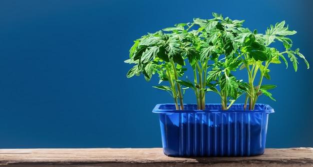 Les plants de tomates dans un pot