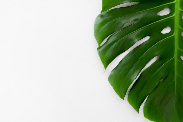 Plat de feuille de plante monstera avec espace copie