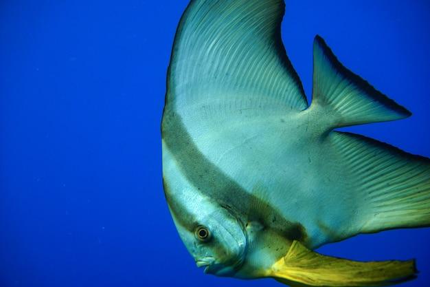 Platax orbicularis ou platax orbiculaire nageant sous l'eau dans la mer