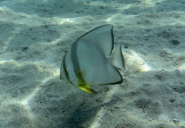 Platax orbicularis ou poisson-chauve-souris orbiculaire nageant sous l'eau en mer