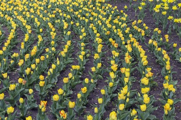 Plate-bande de belles tulipes jaunes se bouchent.