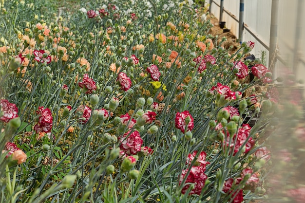 Plate-bande avec plantes à fleurs d'oeillets