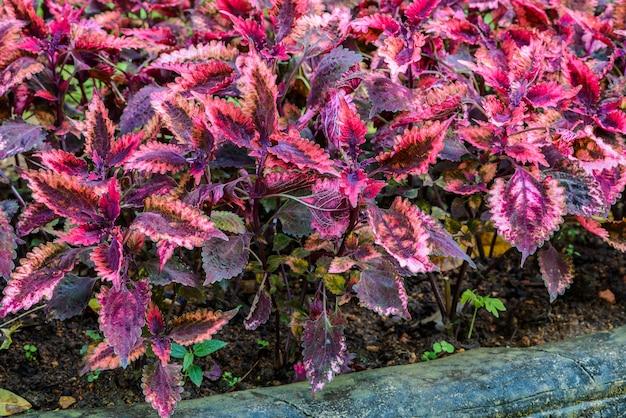 Plectranthus scutellarioides couramment