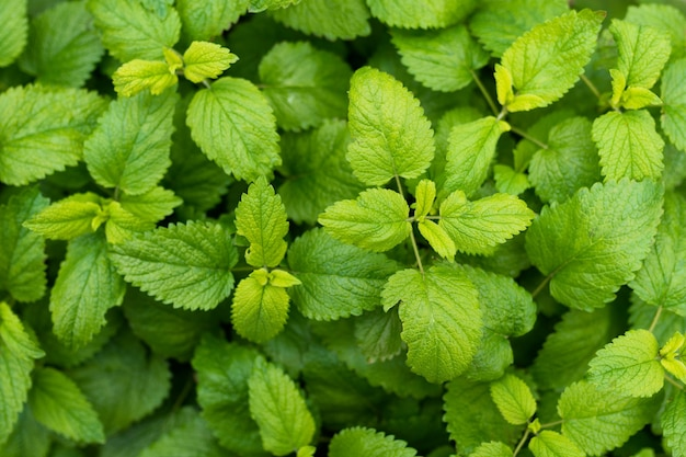 Plein cadre de feuilles de menthe baume vert frais
