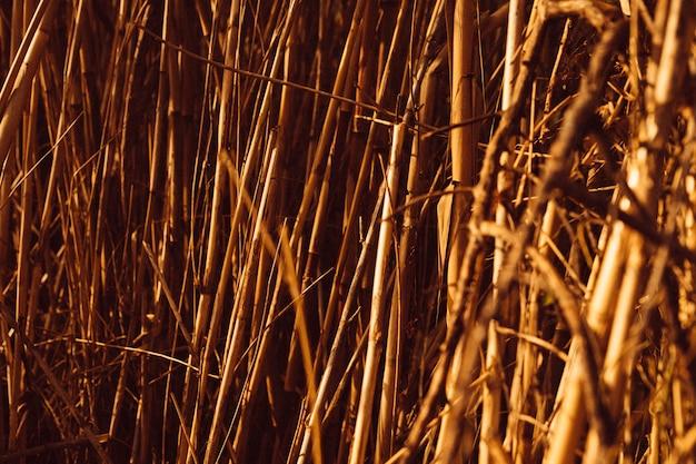 Plein cadre de roseaux bruns