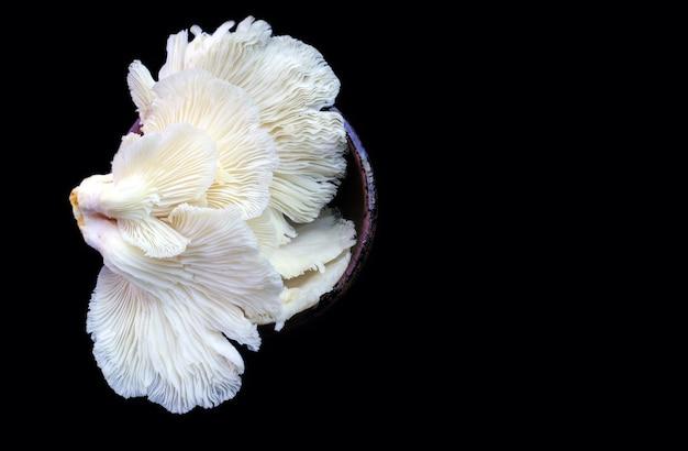 Pleurotus ostreatus, le pleurote ou le champignon de l'huître, un champignon comestible commun sur fond noir