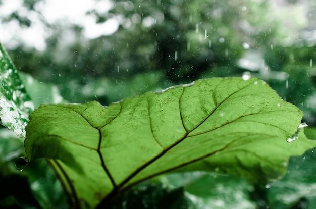 La pluie dégoulinant sur une grande feuille de bardane verte, close-up