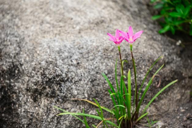 Pluie lily ou zephyranthes grandiflora belle fleur avec pierre dans la nature
