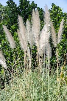 Plumage de l'herbe de la pampa
