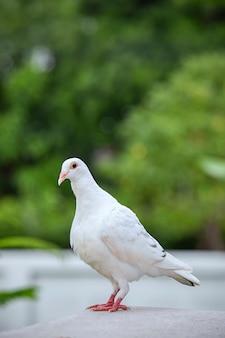 Plume blanche d'oiseau de pigeon voyageur sur le toit de grenier