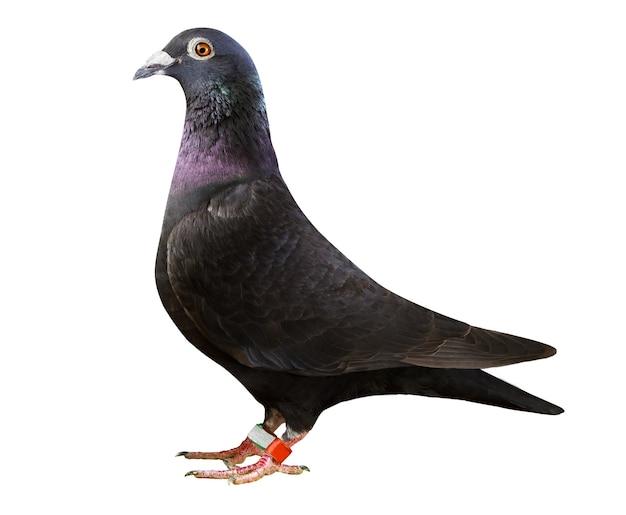 Plume noire pigeon voyageur isolé sur fond blanc
