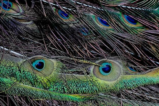 Plume de paon vert pavo muticus beaux oiseaux de thaïlande