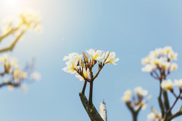Plumeria sur l'arbre de plumeria, effet de filtre vintage plumeria rose sur l'arbre de plumeria