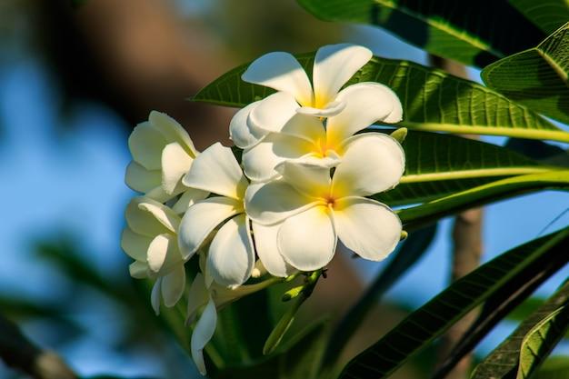 Plumeria, blanc, en fleur est la fleur nationale du laos